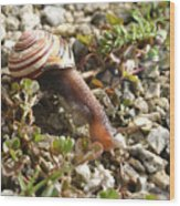 Snail On Rocks Wood Print