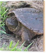 Snapping Turtle Laying Eggs Wood Print
