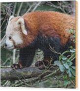 Sneaky Red Panda Wood Print