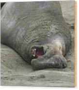 Snoring Elephant Seal Wood Print