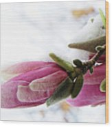 Snow Capped Magnolia Blossoms Wood Print