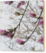 Snow Capped Magnolia Tree Blossoms 2 Wood Print