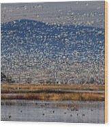 Snow Geese Landing Wood Print