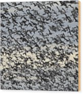 Snow Geese Spring Migration Wood Print