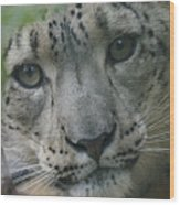 Snow Leopard 10 Wood Print