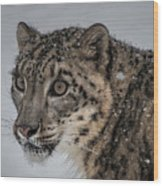 Snow Leopard 2 Wood Print