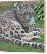 Snow Leopard, Doue-la-fontaine Zoo, Loire, France Wood Print