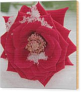 Snow Rose Wood Print