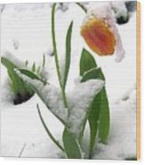 Snow Tulip Wood Print