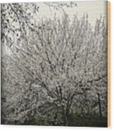Snow White Flowering Tree Wood Print