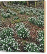 Snowdrops In Spring Woodland Wood Print
