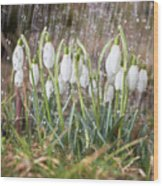 Snowdrops In The Garden Of Spring Rain 1 Wood Print