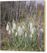 Snowdrops In The Garden Of Spring Rain 3 Wood Print