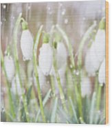 Snowdrops In The Garden Of Spring Rain 4 Wood Print