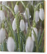Snowdrops In The Garden Of Spring Rain 5 Wood Print