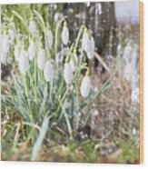 Snowdrops In The Garden Of Spring Rain 7 Wood Print