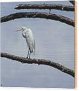Snowy Egret In Plume Wood Print