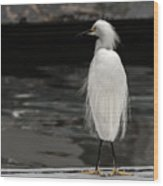 Snowy Egret Looking For Next Meal Wood Print
