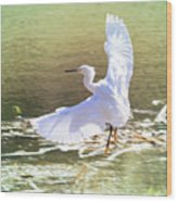 Snowy Egret Over Golden Pond Wood Print