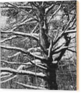 Snowy Limbs Wood Print