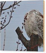 Snowy Owl Preening Wood Print