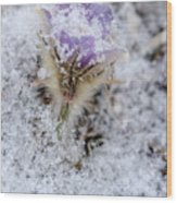 Snowy Pasqueflower Morning Wood Print