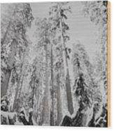 Snowy Sequoias At Calaveras Big Tree State Park Black And White 3 Wood Print