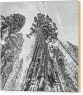 Snowy Sequoias At Calaveras Big Tree State Park Black And White 6 Wood Print