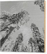 Snowy Sequoias At Calaveras Big Tree State Park Black And White 7 Wood Print