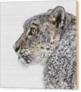 Snowy Snow Leopard Wood Print