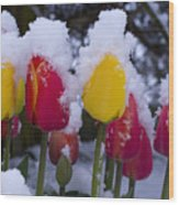 Snowy Tulips Wood Print