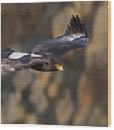 Soaring Black Eagle Wood Print