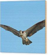 Soaring Osprey Wood Print