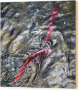 Sockeye Salmon, Alaska, August 2015 Wood Print