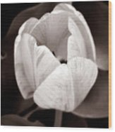 Soft And Sepia Tulip Wood Print
