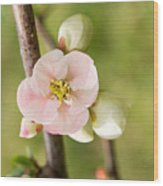 Pink Quince Blossom Wood Print