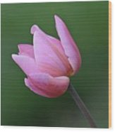 Soft Pink Tulip Wood Print