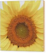 Soft Sunflower Wood Print
