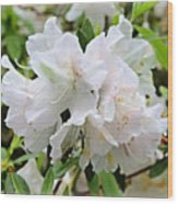 Soft White Azaleas Wood Print