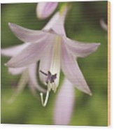 Softened Hosta Bloom Nature Photograph  Wood Print