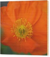 Softly Poppies Wood Print by Kathy Yates