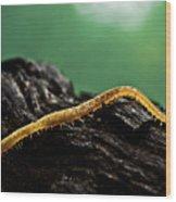 Soil Centipede Wood Print
