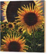 Solar Corona Over The Sunflowers Wood Print