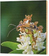 Soldier Beetle Wood Print