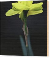 Solitaire Yellow Daffodil Wood Print