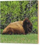 Solitary Buffalo Wood Print