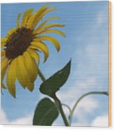 Solitary Sunflower From Below Wood Print