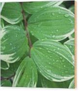 Solomon's Dew Wood Print