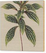 Sonerila Margaritacea Wood Print