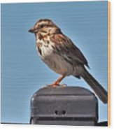Song Sparrow Profile         Summer      Indiana Wood Print